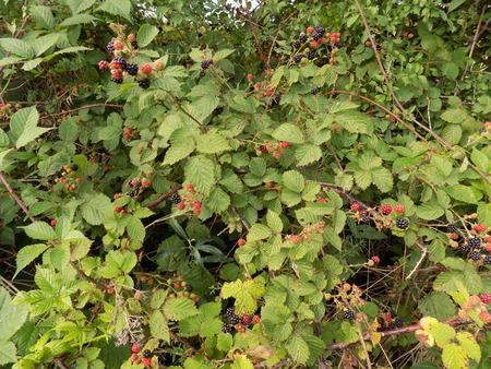 blackberry bush: blackberry bush Stock Photo