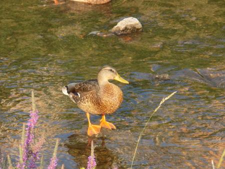rock creek: Duck on a rock in a creek Stock Photo
