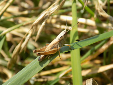 blade: Grasshopper on grass blade