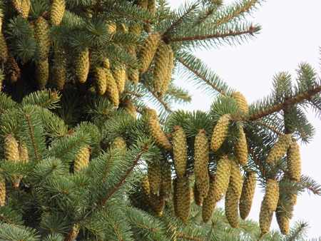spruce tree: Many cones on spruce tree