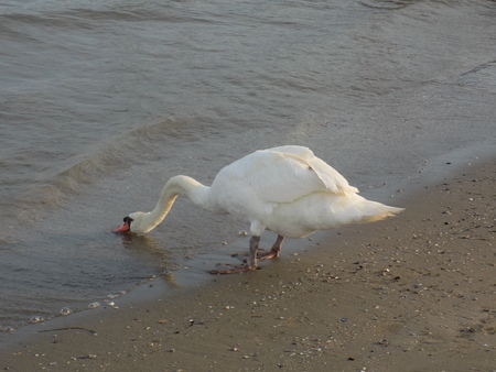 thirsty bird: Swan drinking water from the sea Stock Photo