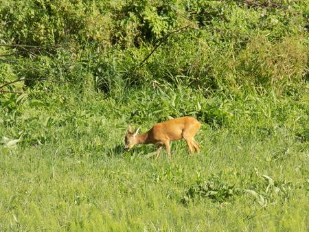 doe: Doe grazing on meadow