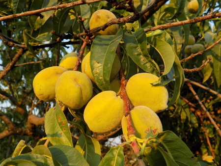 fructose: Immature peaches on tree