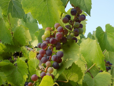 fructose: red grapes