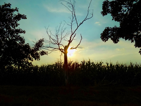 obscuring: Dry tree obscuring sunset Stock Photo