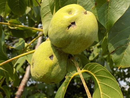 hazelnut tree: Two immature hazelnuts on tree