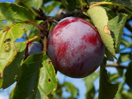 fructose: Red greengage on tree