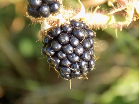 blackberry bush: Blackberry on bush Stock Photo