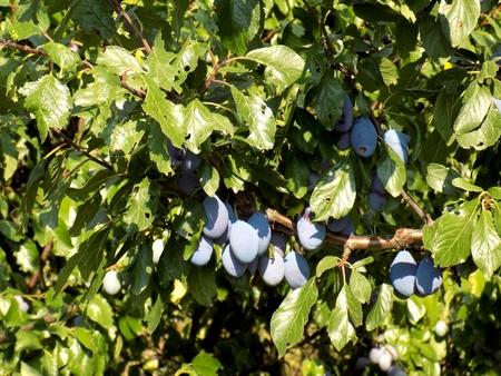 prune: Italian prune plum tree