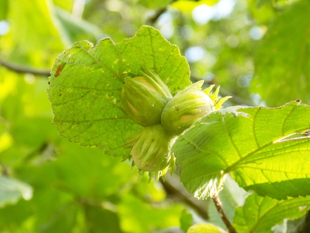 immature: Immature hazelnuts on tree Stock Photo