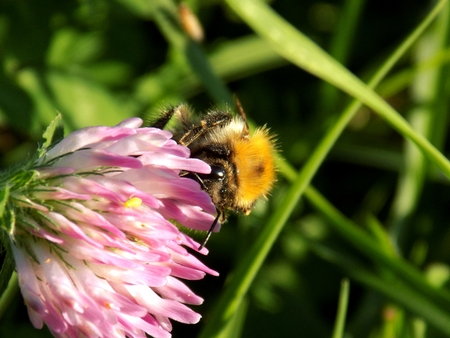 pollinate: Bumblebee pollinate clover flower Stock Photo