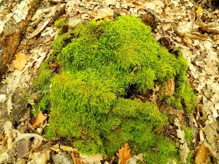 deciduous: Moss in deciduous forest Stock Photo