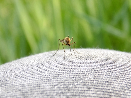 Mosquito on jeans
