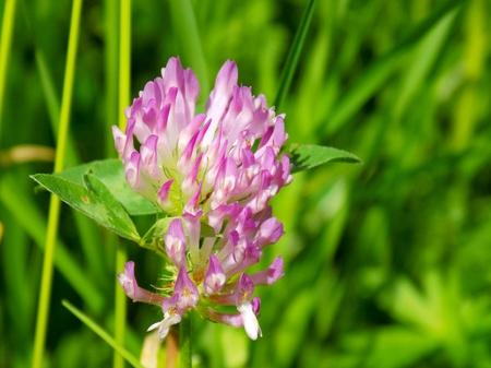 Flowering clover on meadow in spring
