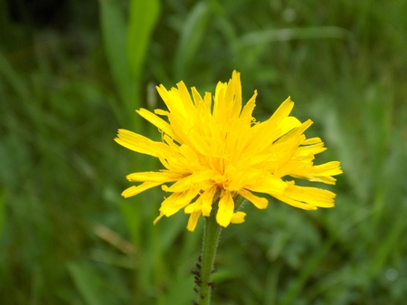 Beautiful dandelion flower on meadow in wild nature during spring