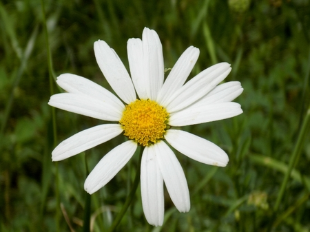 Beautiful daisy flower on meadow in wild nature during spring