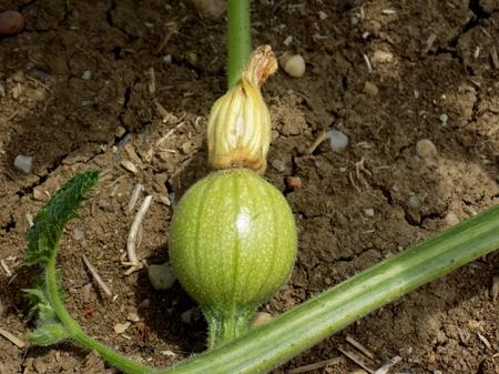 immature: Small immature watermelon on field