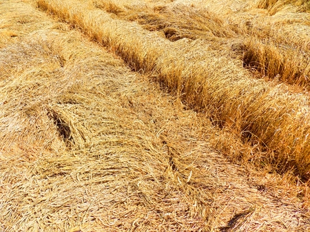 wind down: Knocked down wheat after tornado Stock Photo