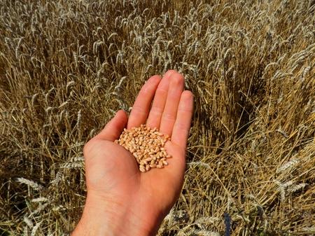 wheat grain: Wheat grain after harvest on human palm Stock Photo