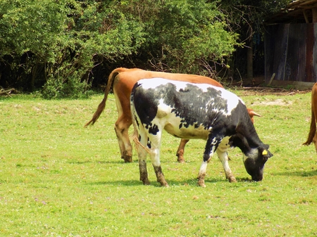 teat: Cows grazing on meadow