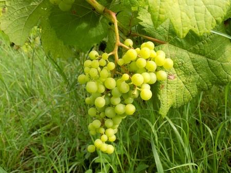 Bunch of grapes in vineyard Reklamní fotografie