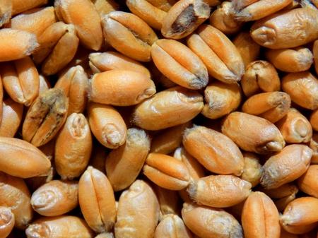 Wheat grain texture Stock Photo