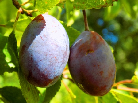 ciruela pasa: Italian prune plums on tree in fruit garden Foto de archivo