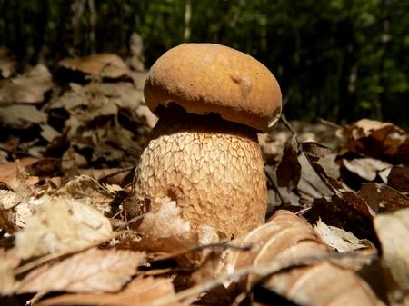reticulatus: Oak mushroom (boletus reticulatus) in deciduous forest Stock Photo