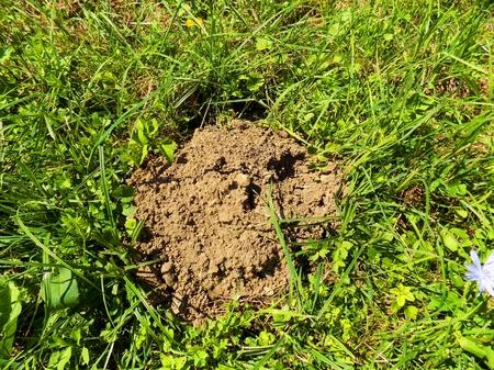 molehill: Molehill on meadow