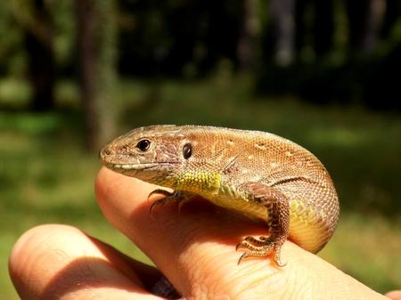 human palm: Gecko on human palm