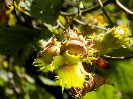hazelnut tree: Hazelnut tree in deciduous forest in wild nature