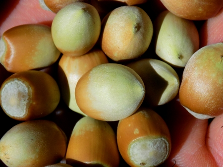 nutshell: Small hazelnuts in nutshell on human palm