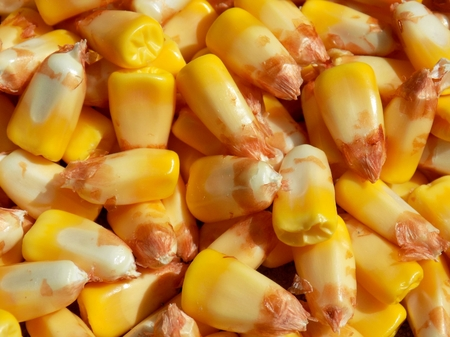 genetically modified crops: Gold sweet corn vegetable kernels texture, healthy sweet vegetable food background Stock Photo