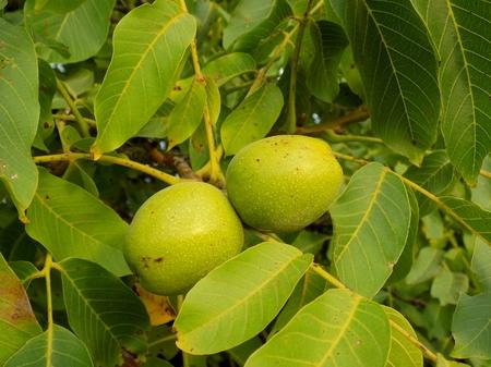 walnut tree: Immature walnuts on walnut tree in garden