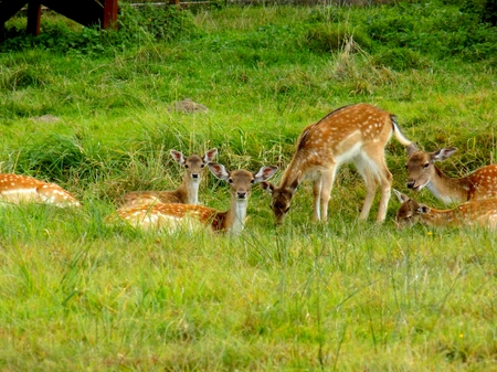 Fallow deer family on meadow in wild nature Stock Photo