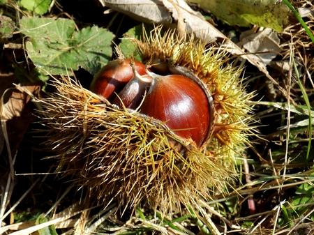 Chestnut in peel, nutshell