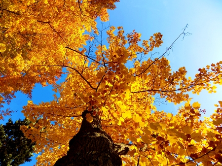 Yellow leaves on deciduous trees in deciduous forest and blue sky during autumn Stock Photo
