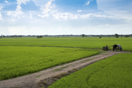 agrarian: Agriculture  in suphanburi province Thailand
