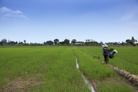 agrarian: Farmer take care of rice field