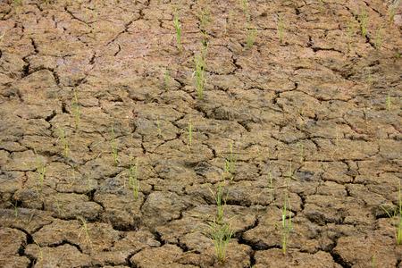 sequias: campo de arroz de sequ�a Foto de archivo