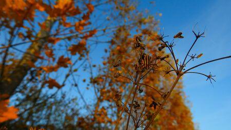 orange black striped beetle in autumn on the Danube coast Stock fotó