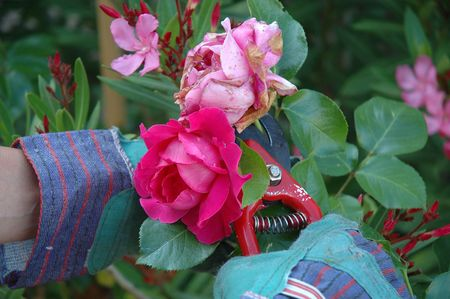Close up on roses being cut. We see the hands of the gardener wearing green gloves and holding a red cutter. The faded rose is being cut.