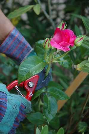 Close up on roses being cut. We see the hands of the gardener wearing green gloves and a red cutter.