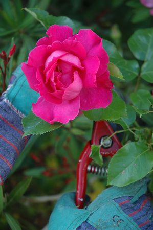 Close up on a single rose being cut. We see the hands of the gardener wearing green gloves and holding a red cutter Stock Photo - 999256