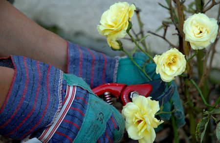 Close up on roses being cut. We see the hands of the gardener wearing green gloves and holding a red cutter. Hands are centred.