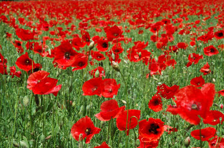 Close shot in a poppy field. Beautifil colors. Red and Green photo