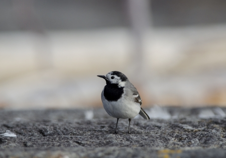 White wagtail photo