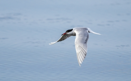 artic tern photo