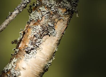 betula pendula: tree