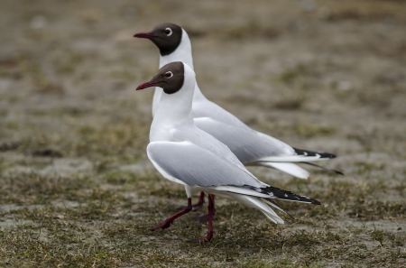 aves: laughing gull